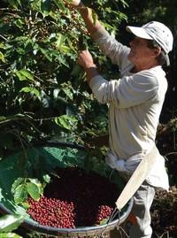 Brasilien Bio Kaffee roh