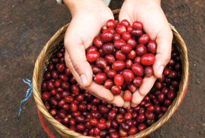 Kaffeeernte Sumatra