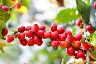 Sumatra Rohkaffeebohnen