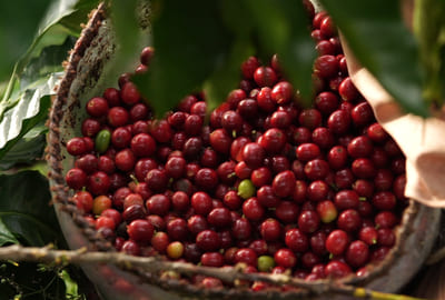 Honduras Bio Rohkaffee