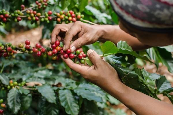 Kaffee Ernte